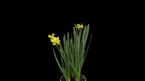 Growing, opening and rotating Narcissus with ALPHA, 4K Footage