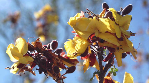 Creosote Bush Spring Flowering Macro Live Action