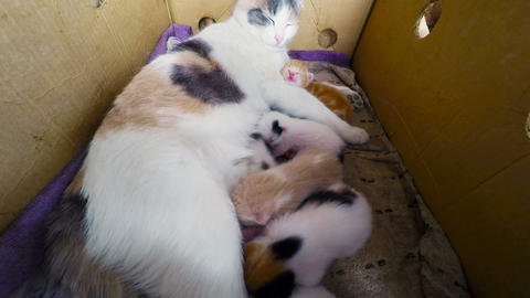 Cat Breast Feeding Kittens, Newborn kittens with a Footage