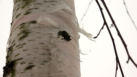 Trunk of a birch bark and the wind. 4K Footage