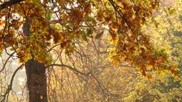 Beautiful Autumn Scene 10 falling leaves Stock Video Footage