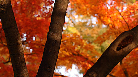 Beautiful Autumn Tree 02 light reflections Stock Video Footage