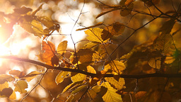 Elm Autumn Leaves 01 close up Stock Video Footage