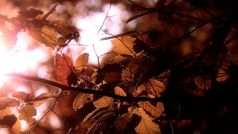 Elm Autumn Leaves 03 close up stylized Stock Video Footage