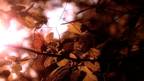 Elm Autumn Leaves 03 close up stylized Footage