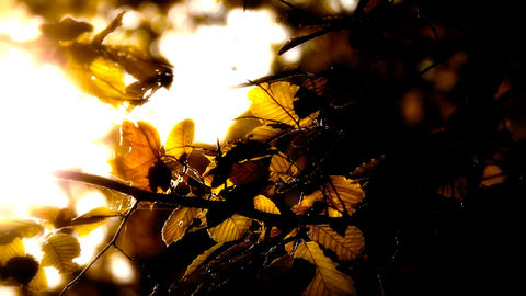 Elm Autumn Leaves 05 close up stylized high contrast Footage