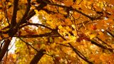 Sycamore Autumn Leaves 01 close up Footage