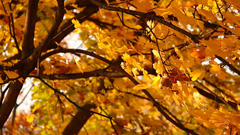 Sycamore Autumn Leaves 01 close up Stock Video Footage
