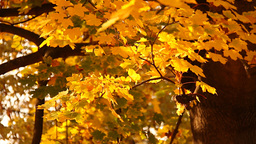 Sycamore Autumn Leaves 03 close up Stock Video Footage