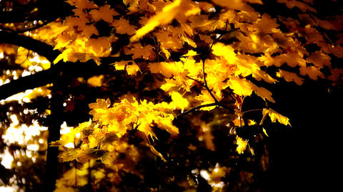 Sycamore Autumn Leaves 07 close up stylized high contrast Stock Video Footage