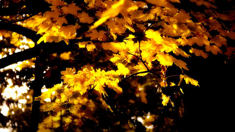 Sycamore Autumn Leaves 07 close up stylized high contrast Footage