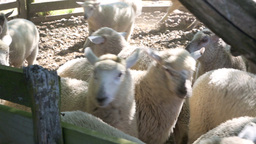 Flock Of Sheep In Farm Yards Ready For Shearing stock footage