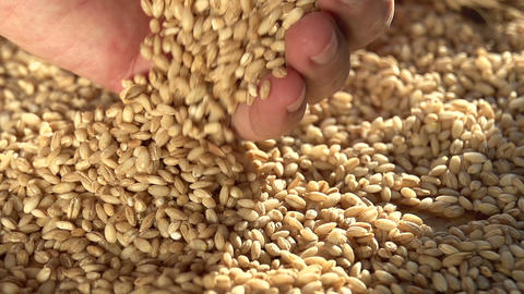 Rich Harvest of Grain Footage