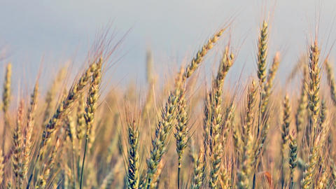 Ripe ears of wheat in the field wave on a wind Footage