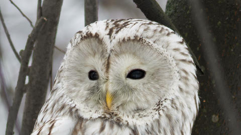 Ural Owl 2 stock footage