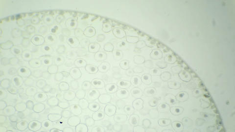 Mitosis cell Ascaris eggs under the microscope (Mi Footage