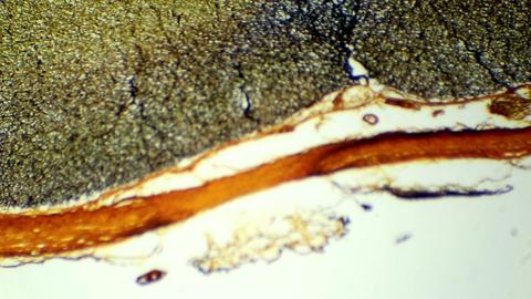 Cross section of the spinal cord under microscopic Live Action