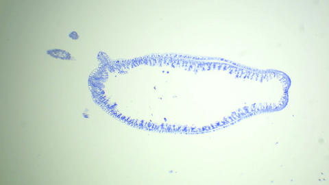 Longitudinal section of the Hydra under the micros Live Action