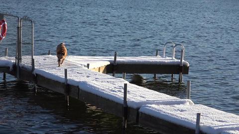Dog Slips On Snowy Dock stock footage