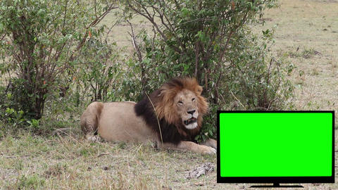 TV with green screen and a lion on the savannah Footage
