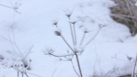 winter plant close up snowly Footage