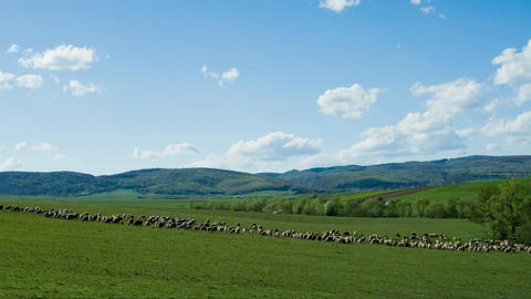 Sheep At Meadow stock footage