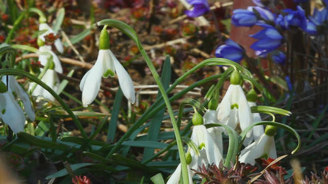 Early Snowdrop In Wind stock footage