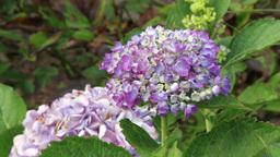 Hydrangea Flowers In The Garden stock footage