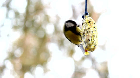 Bird Great Tit Parus Major stock footage