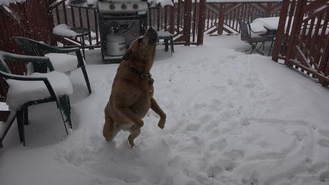 Dog Eating Snow Flakes During Storm Live Action