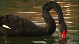 Black Swan Attacking And Play With A Frog In Water, Real Time stock footage
