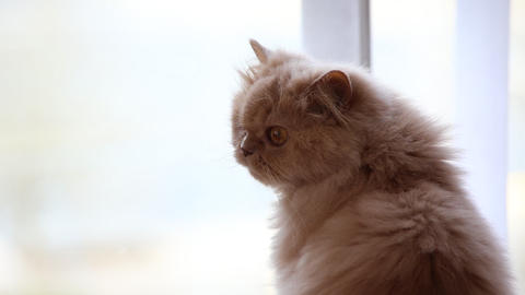 Close Up Persian Cat Looking Outside View Of Window stock footage