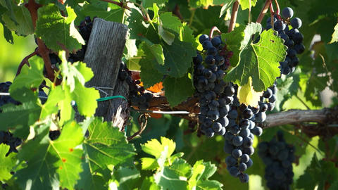 Views Of A Tuscan Vineyard (4 Of 11) stock footage