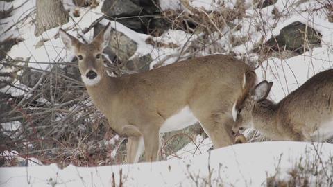 Scenes of Deer in the Snow (1 of 4) Footage