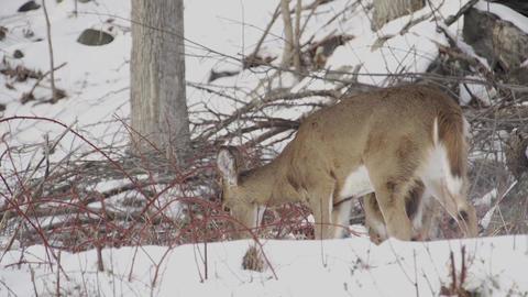 Scenes of Deer in the Snow (2 of 4) Footage