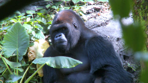 Gorilla Sitting Shade stock footage