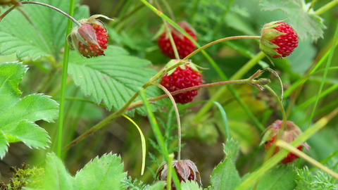 wild strawberry close-up Footage