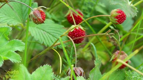 wild strawberry close-up Footage