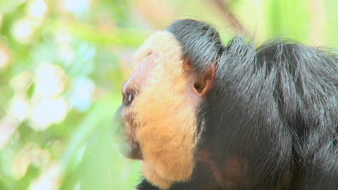male pale faced saki monkey 2 Live Action