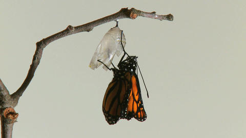 monarch butterfly emerges chry Footage
