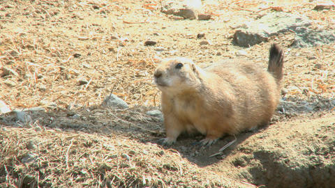 Prairie Dog Two Scenes stock footage