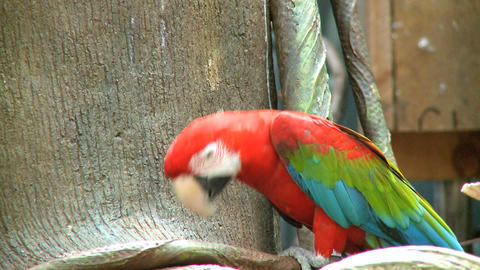 Red Macaw 2 stock footage