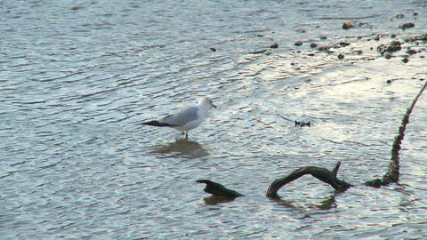Seagull Wading Around Low Tide stock footage