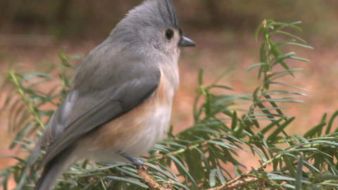 Small Titmouse Bird Lands Pine stock footage