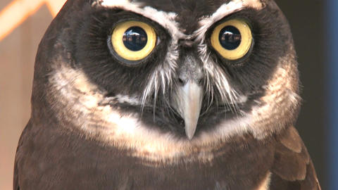 spectacled owl looks camera Live Action