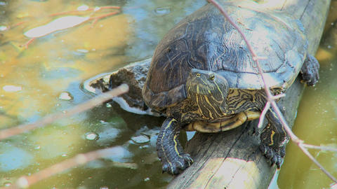 Turtle Two Scenes stock footage