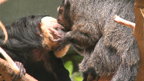 two pale faced saki monkeys gr Footage