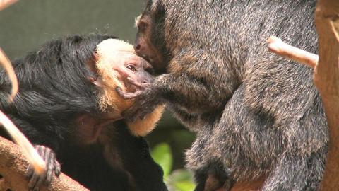 two pale faced saki monkeys gr Footage