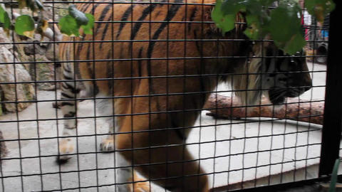 Tiger in a Zoo Footage