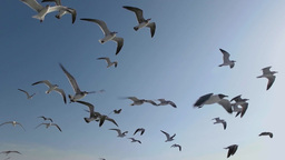 Seagulls And Birds Flying In Group On Blue Sky Super Slow Motion stock footage